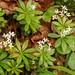Woodruff - Galium odoratum