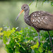 The Mother Limpkin by Robert F. Carter Travels