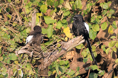 Magpie shrike pair