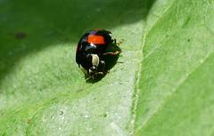 Asian Ladybeetle (Harmonia axyridis