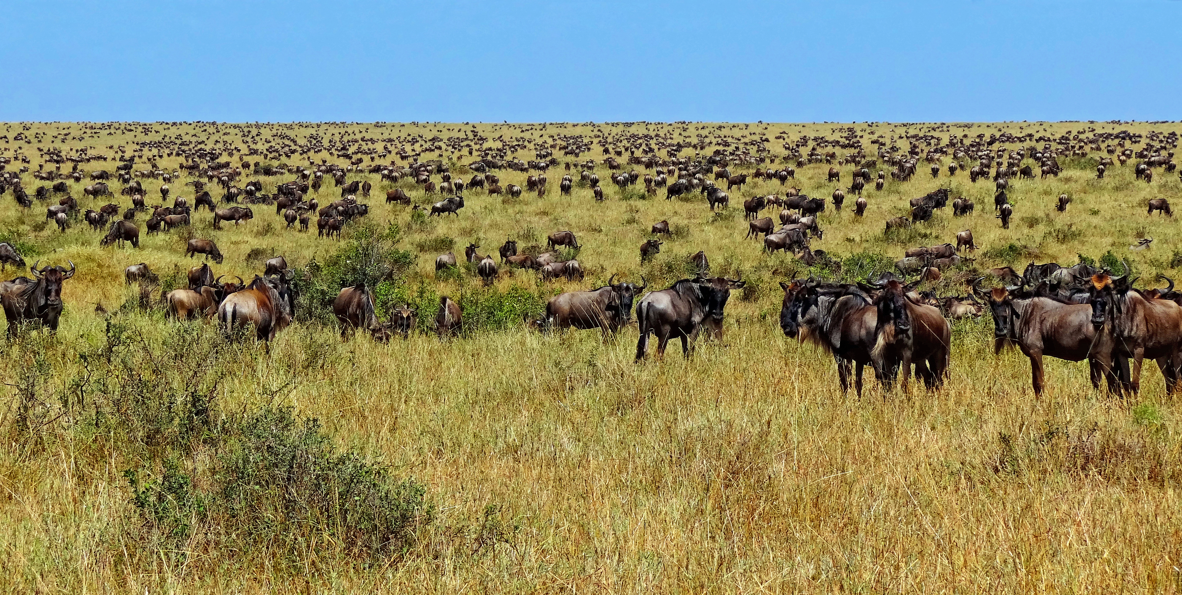 Numerous wildebeest photographed after having crossed the river Mara from Serengeti to the Mara. Photo taken during the Great Migration on August 22, 2012.