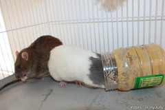 #Rattie #Treat: Peanut butter