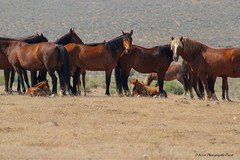 Wild Horse Band Fish Springs herd.