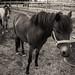 Hevosia / Horses