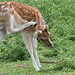 Fallow Deer of Weald Country Park