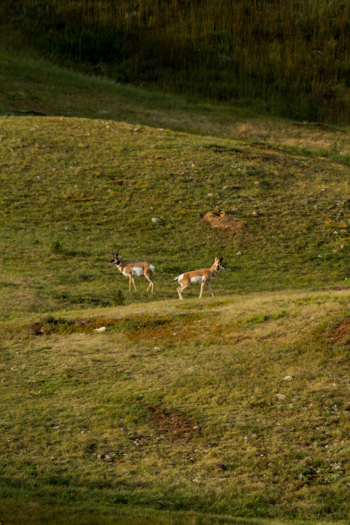wind cave national park pronghorn