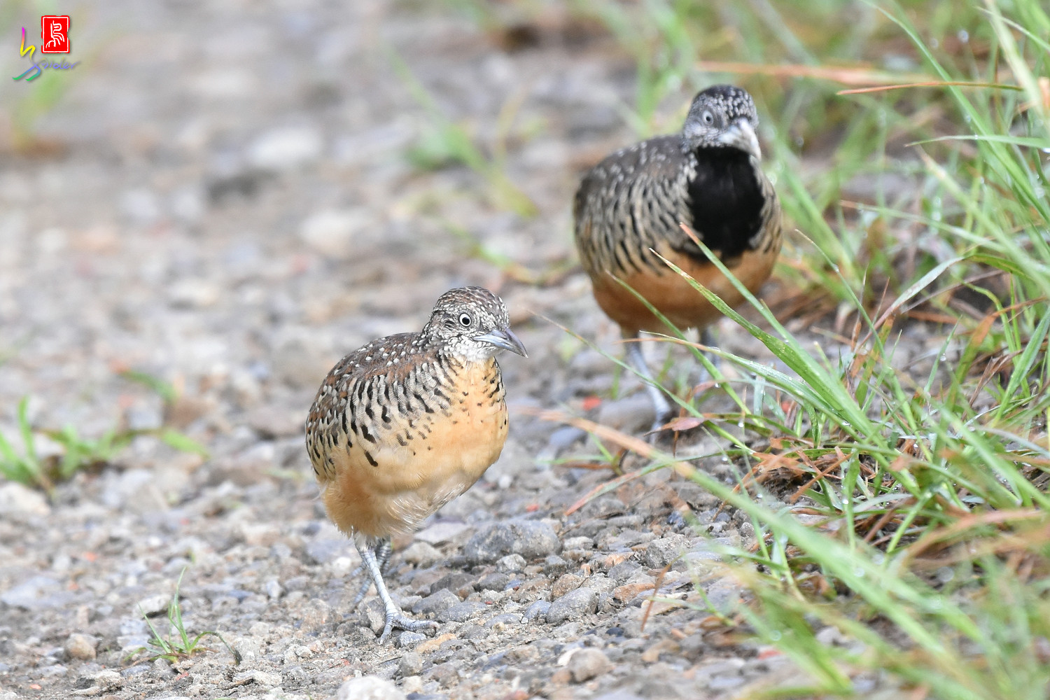 Barred_Buttonquail_7191