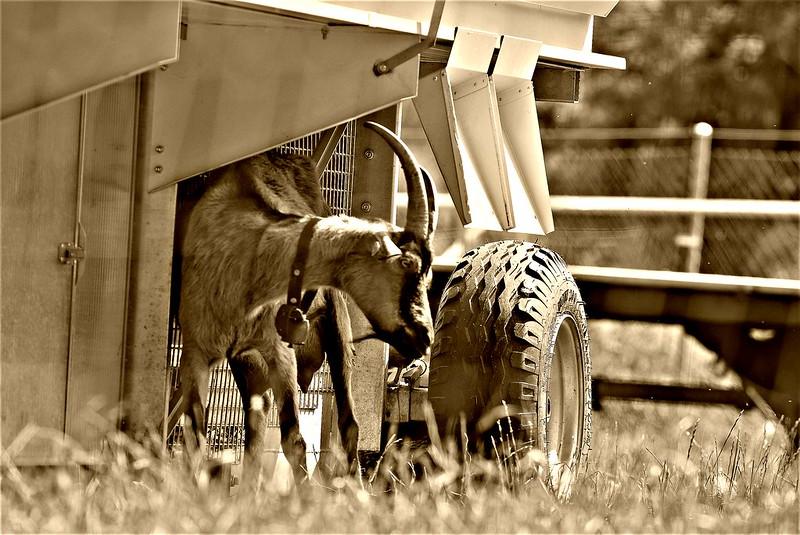 Ibex Goat 16.06 (8)