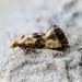 Marbled Conch - Eupoecelia angustana