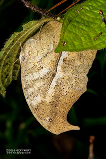 Forest Mother-of-Pearl butterfly (Protogoniomorpha parhassus) - DSC_8817