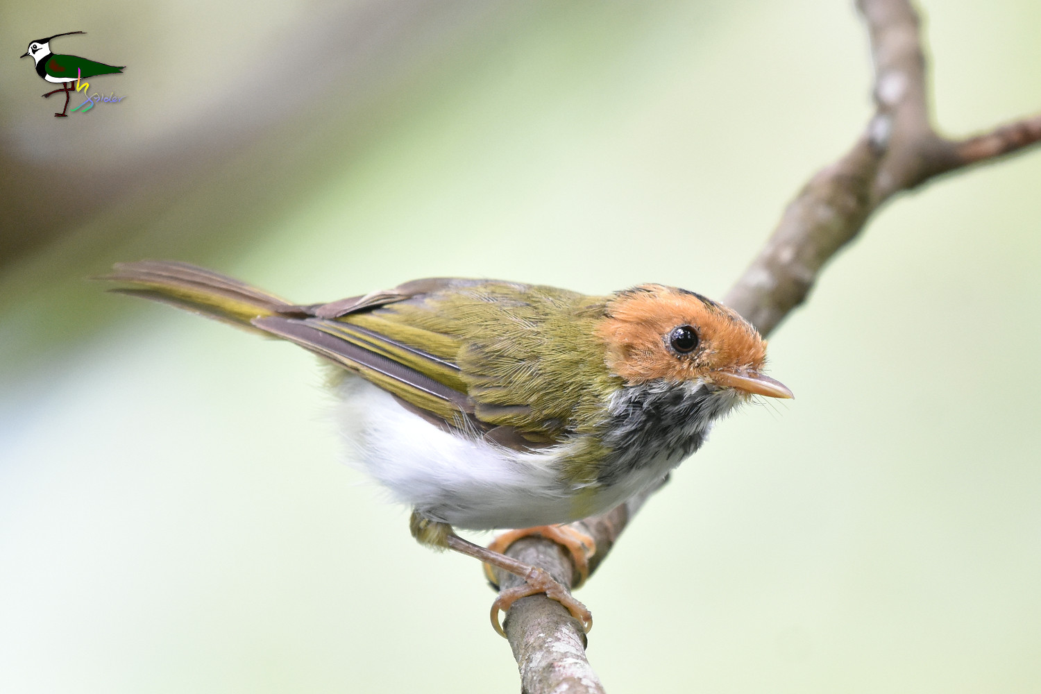 White-throated_Flycatcher_Warbler_2290
