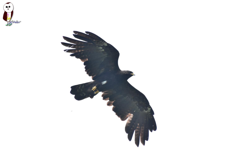 Black_Eagle_2609