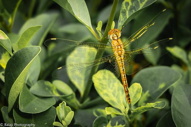 Ruddy meadow Skimmer (F)