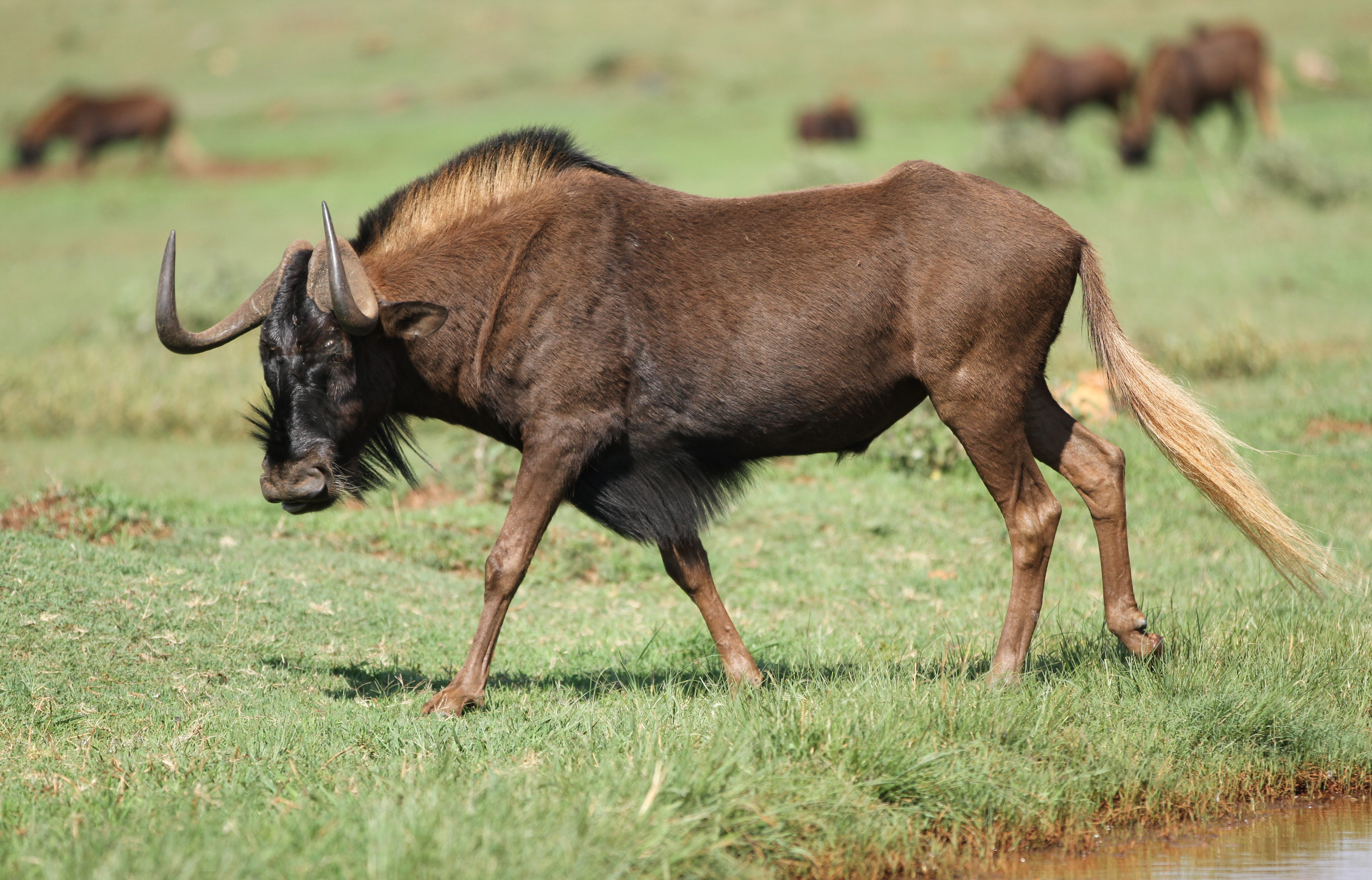 Black wildebeest, or white-tailed gnu, Connochaetes gnou at Krugersdorp Game Reserve, Gauteng, South Africa. Photo taken on November 26, 2016.