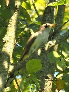 Yellow-billed Cuckoo profile by Kathy Murphy