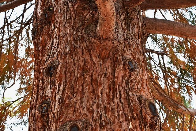 Sequoia tree trunk bark