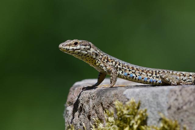 Lézard des murailles - Podarcis muralis - Common Wall Lizard