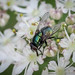 Muscid sp. - Neomyia cornicina