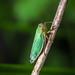 Green Leafhopper - Cicadella viridis