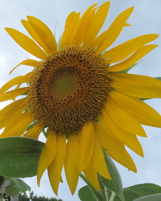 sunflowerbybethany