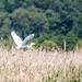 RSPB Ham Wall-Great White Egret