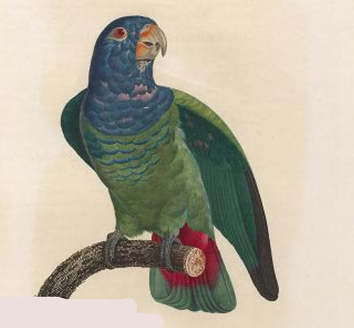 Barraband blue-headed parrot, Levaillant 1805 pl 114