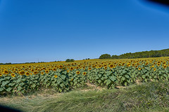 Fields of Sunflowers - Photo of Baron