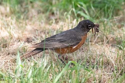 robin_with_worm-20180624-100