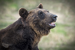 Ussuri Brown Bear