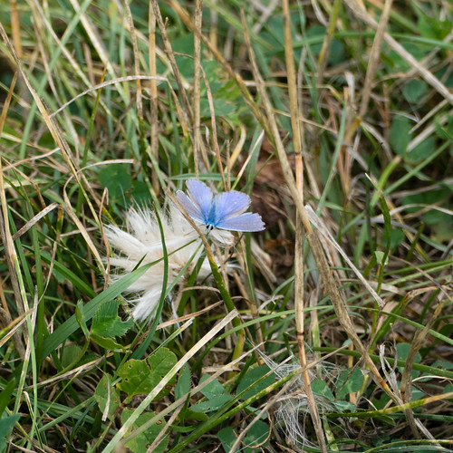 Common blue butterfly (male) on grass and thistle
