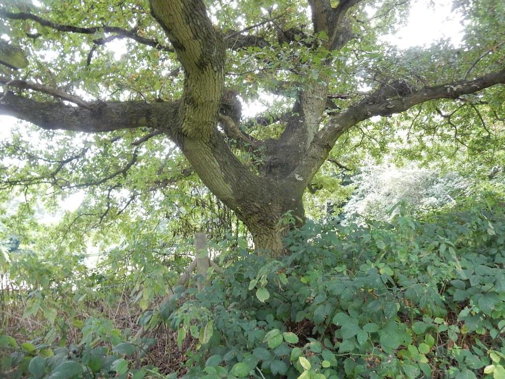 Big tree Tadworth via Headley Heath Circular