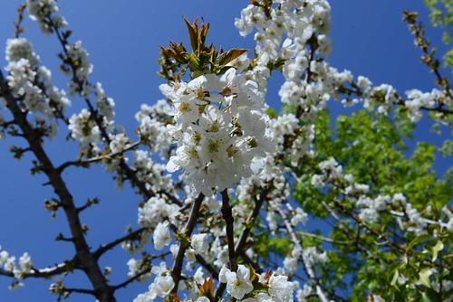 DAV_0671 Cherry blossoms