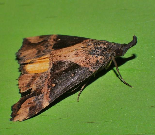 Mandalay Rhino horn Snout moth Dichromia quinqualis Hypeninae Noctuoidea Airlie Beach rainforest P1350949
