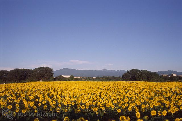 Sunflower & Mt. Oyama