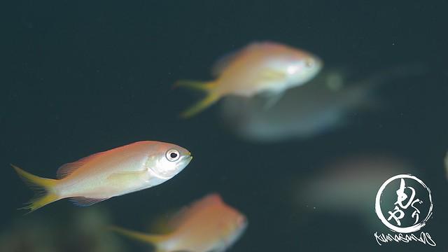 アカネハナゴイの幼魚たち。