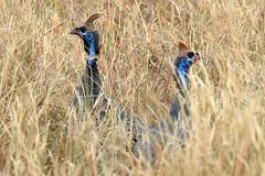 Helmeted guineafowl pair