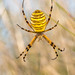 Wespenspinne in der Wiese by AnBind