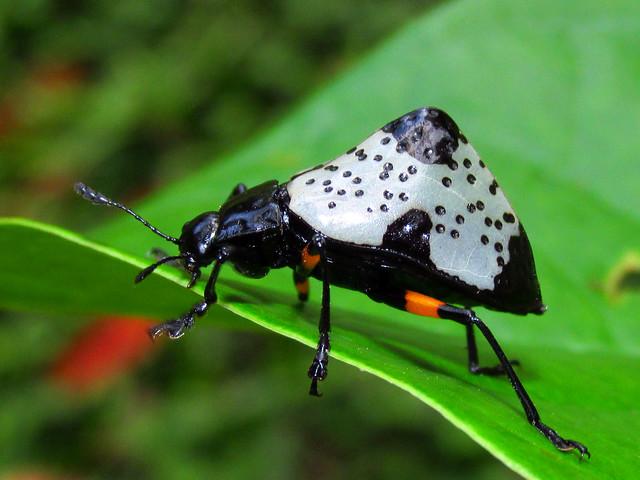 Hump-backed pleasing fungus beetle, Canon POWERSHOT SX160 IS