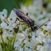 Sawfly sp. - Pachyprotasis rapae