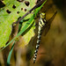 Southern hawker dragonfly, Baggeridge