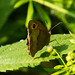Meadow brown butterfly resting on nettle leaf