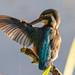 kingfisher Maintenance