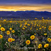 DV SuperBloom by Steph Sawyer Photography (on and off)