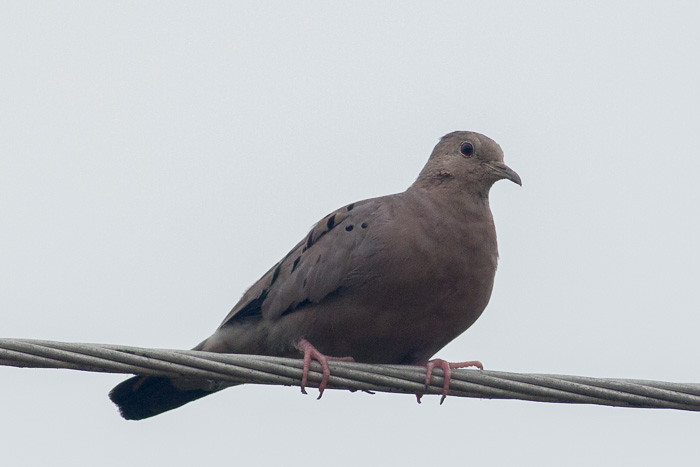 Ruddy Ground-dove maybe