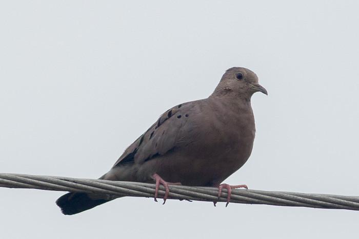 Ruddy Ground-dove maybe