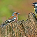 Vink - Fringilla coelebs en Koolmees - Parus major