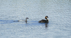 Great Crested Grebes (Podiceps cristatus) adult with young ...