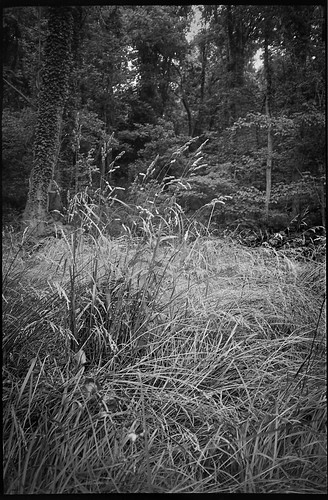 grasses tallgrasses forest forestsedge communityparkatcraggypark westasheville northcarolina olympusxa kodaktmax400 ilfordilfosol3developer 35mm 35mmfilm film rangefinder blackandwhite monochrome monochromatic landscape