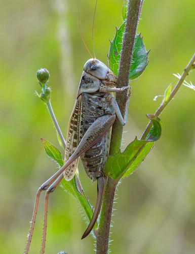 Warzenbeißer (Decticus verrucivorus)