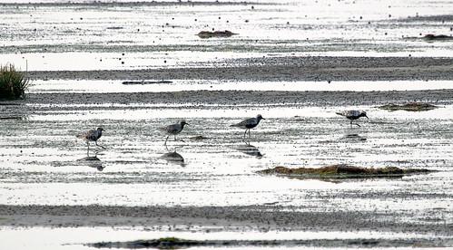 Black bellied plovers